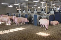 Complex services in livestock breeding (pig breeding)