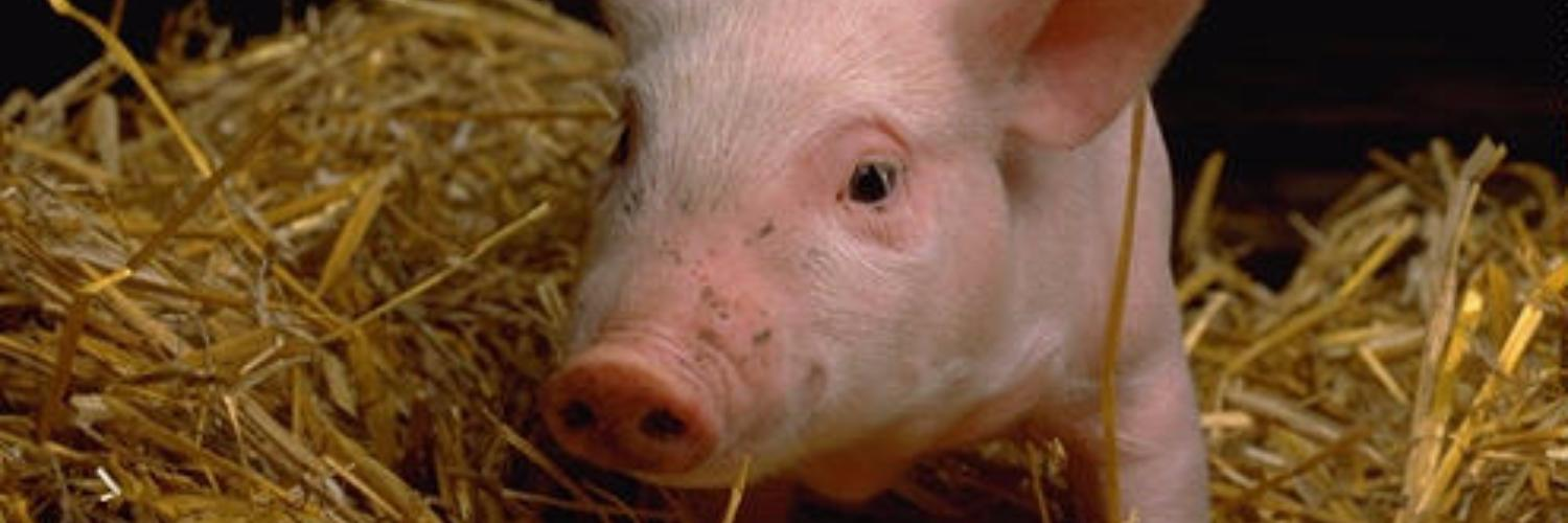 Streptococcosis in pigs
