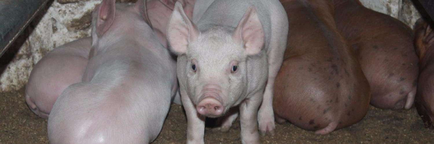 10 ways to reduce the cost of feeding pigs