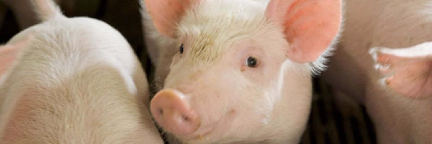 Clostridiosis of piglets is worth knowing