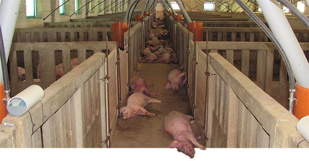 The mass death of pigs