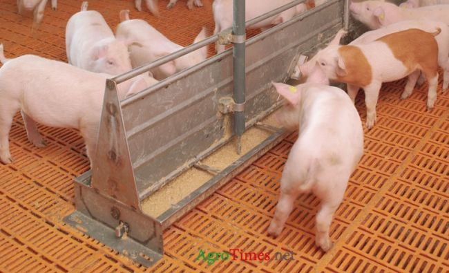 Liquid feeding of pigs on growing